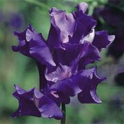 Sweet Pea 'King Size Navy Blue' - 1 packet (20 sweet pea seeds)