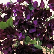 Sweet Pea 'Blue Velvet' - 1 packet (25 sweet pea seeds)