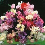 Sweet Pea 'Floral Tribute' - 1 packet (45 sweet pea seeds)