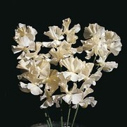 Sweet Pea 'Cream Southbourne' - 1 packet (25 sweet pea seeds)