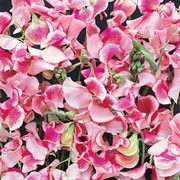 Sweet Pea 'Pink and White Ripple' - 1 packet (25 sweet pea seeds)