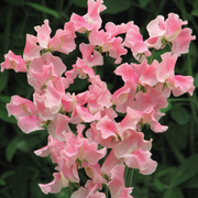 Sweet Pea 'Alan Titchmarsh' - Part of the Alan Titchmarsh Collection - 1 packet (25 seeds)