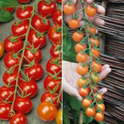 Tomato 'Sweetest Tomato Duo' - 2 packets - 1 of each variety (16 tomato seeds in total)