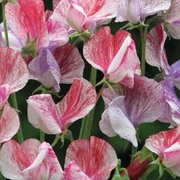 Sweet Pea 'Statesman Mixed' - 1 packet (25 seeds)