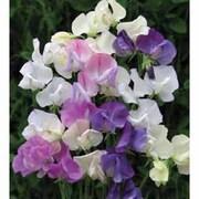 Sweet Pea 'Scent Infusion' - 6 sweet pea premium plugs (30 plants)