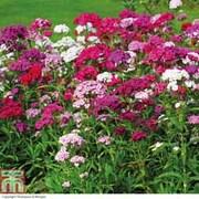 Dianthus barbatus 'Sweet' - 24 dianthus plug plants