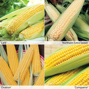 Sweetcorn 'Full Season Collection' - 16 sweetcorn jumbo plug plants - 4 of each variety