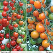 Sweetest Tomato Collection - 20 tomato Postiplug plants - 10 of each variety