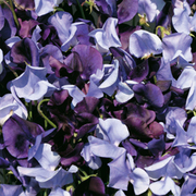 Sweet Pea 'Oxford and Cambridge Mixed' - 12 sweet pea premium plugs (60 plants)