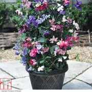 Sweet Pea 'Balcony Beauties Mixed' - 12 sweet pea premium plug plants