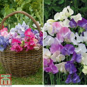 Sweet Pea Duo Collection - 12 sweet pea premium plugs (60 plants) - 30 of each variety
