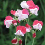 Sweet Pea 'Little Red Riding Hood' - 1 packet (25 sweet pea seeds)