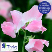 Sweet Pea 'Eleanore Udall' - 1 sweet pea eleanore udall packet (25 seeds)