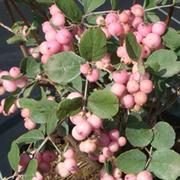 Symphoricarpos x doorenbosii 'Mother of Pearl' (Large Plant) - 1 x 3.6 litre potted symphoricarpos plant