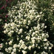 Symphoricarpos 'Magical Galaxy' (Large Plant) - 1 x 3.6 litre potted symphoricarpos plant