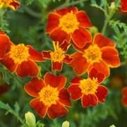 Marigold 'Paprika' - 1 packet (300 marigold seeds)