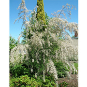 Tamarix ramosissima 'Hulsdonk White' (Large Plant) - 1 x 3.6 litre potted tamarix plant