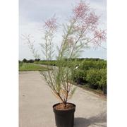Tamarix ramosissima 'Rubra' - 1 x 3.6 litre potted tamarix plant