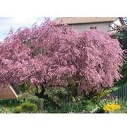 Tamarix tetrandra (Large Plant) - 1 x 3.6 litre potted tamarix plant