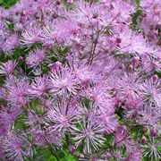Thalictrum 'Black Stockings' (Large Plant) - 1 x 3 litre potted thalictrum plant