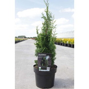 Thuja occidentalis 'Brobeck's Tower' (Large Plant) - 1 x 3 litre potted thuja plant