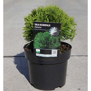 Thuja occidentalis 'Danica' (Large Plant) - 1 x 3 litre potted thuja plant