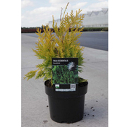 Thuja occidentalis 'Sunkist' (Large Plant) - 1 x 3 litre potted thuja plant