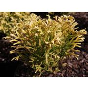 Thujopsis dolabrata 'Solar Flare' (Large Plant) - 1 x 3 litre potted thujopsis plant