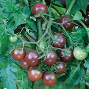 Tomato 'Black Cherry' - 1 packet (25 tomato seeds)