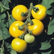 Tomato 'Golden Sunrise' - 1 packet (80 tomato seeds)