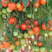 Tomato 'Tumbling Tom Red' - 1 packet (15 tomato seeds)