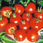 Tomato 'Stupice' - 1 packet (30 tomato seeds)