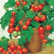 Tomato 'Vilma' - 1 packet (20 tomato seeds)