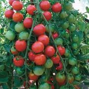 Tomato 'Cherrola' F1 Hybrid - RHS endorsed vegetable seeds - 1 packet (10 tomato seeds)