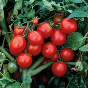 Tomato 'The Amateur' - Heritage - 1 packet (30 tomato seeds)