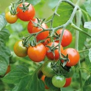 Tomato 'Losetto' - 1 packet (6 tomato seeds)