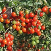 Tomato 'Sweet Baby' - 1 packet (20 tomato seeds)