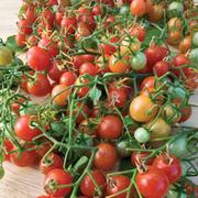 Tomato 'Cherry Cascade' - 1 packet (8 tomato seeds)