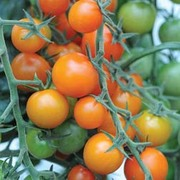 Tomato 'Sungold' F1 Hybrid - 1 packet (10 tomato seeds)