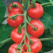 Tomato 'Matina' - 1 packet (30 seeds)