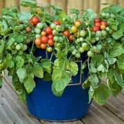 Tomato 'Bajaja' - 1 packet (15 tomato seeds)