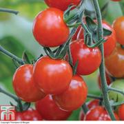 Tomato 'Sweet Aperitif' - 5 tomato Postiplug plants