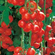 Tomato 'Sportivo' (grafted) - 1 x 7cm potted grafted tomato plant