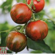 Tomato 'Tiger Red' F1 - 5 tomato Postiplug plants