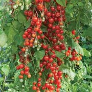 Tomato 'Sweet Million' F1 Hybrid - Part of the Alan Titchmarsh Collection - 1 packet (6 tomato seeds)