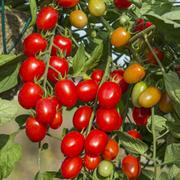 Tomato 'Romello' F1 Hybrid - 1 packet (6 tomato seeds)