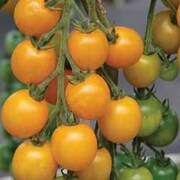 Tomato 'Goldkrone' - 1 packet (12 tomato seeds)