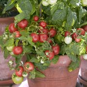 Tomato 'Totem' F1 Hybrid - 1 packet (10 tomato seeds)
