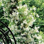 Trachelospermum jasminoides - 2 x 7cm potted trachelospermum jasminoides plants