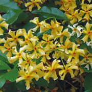 Trachelospermum jasminoides 'Star of Toscana' - 1 x 9cm potted trachelospermum jasminoides plant